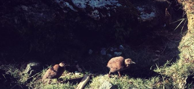 Picture of weka